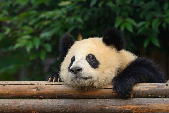 Панда в зоопарке Таиланда умерла от сердечной недостаточности
