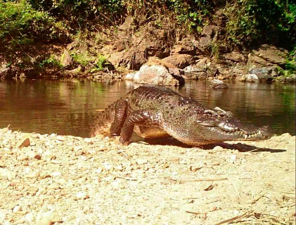 Сиамский крокодил на реке в Пхетчабури