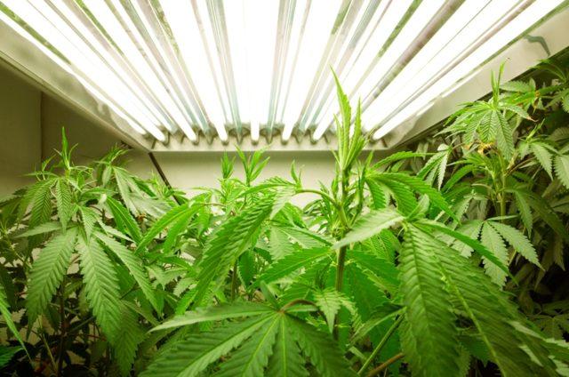 Антинаркотический комитет: хранить марихуану без разрешения все еще нельзя