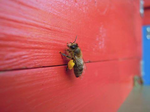 Есть ли у нас тут где-то пасеки, которые можно было бы посетить? ( Пчелы, Мед )