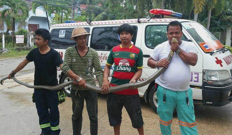 Трехметровую кобру поймали в Чалонге