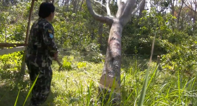 На территории национального парка Sirinart обнаружили нелегальные плантации гевеи. Общая площадь двух нелегальных плантаций составляла около 73 рай земли