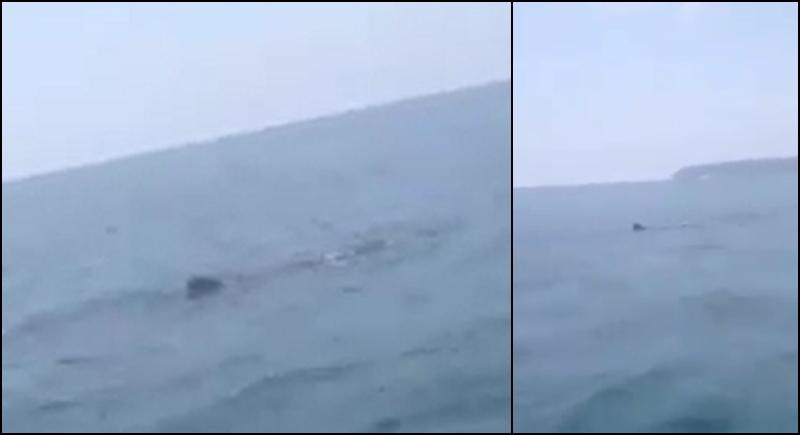 Китовые акулы снова замечены у побережья Пхукета