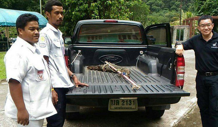 Пхукетским спасателям в очередной раз пришлось проявить свои навыки ловли диких животных 31 мая, когда один из жителей Паклока обнаружил у своего дома варана
