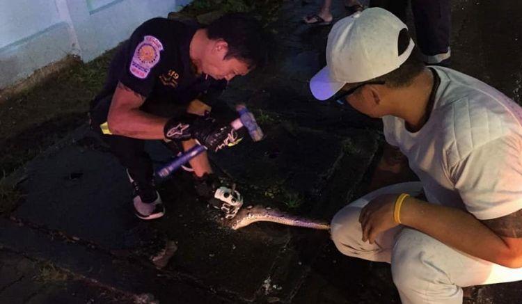 Сотрудники Kusoldharm Foundation спасли трехметрового питона, который не смог протиснуться в отверстие уличного водостока и застрял в крышке коллектора