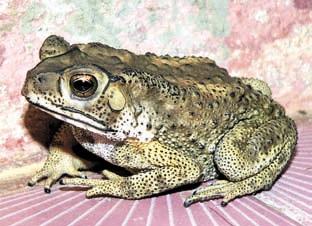 Туристы случайно привезли в Новосибирск в своем багаже жабу из Таиланда