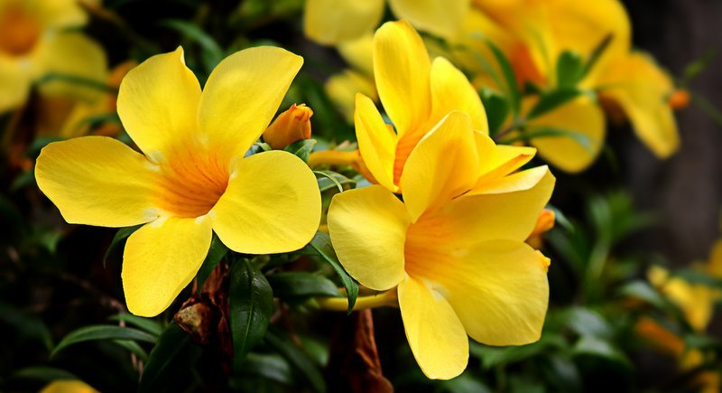 Алламанда: Живое золото тайского сада