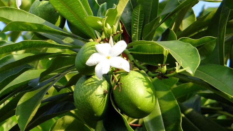 Зеленый дом: Тропические деревья с необычными плодами