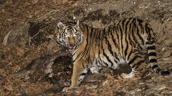 В Таиланд вернулись вымирающие тигры