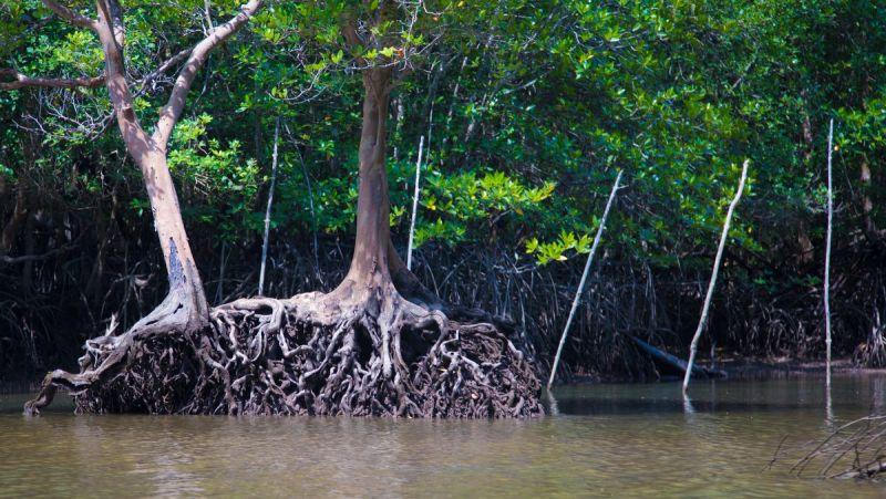 Леса на воде: Мангровые заросли восточного побережья Пхукета