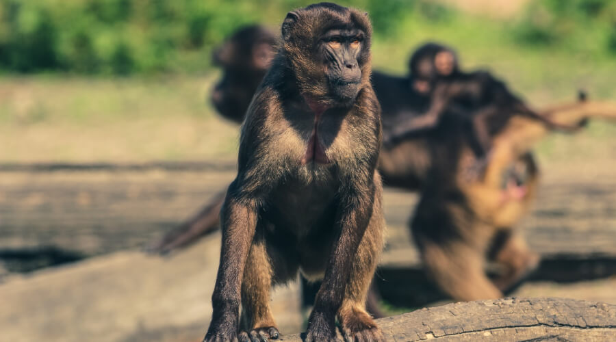 Жители Таиланда забаррикадировались дома из-за банды обезьян