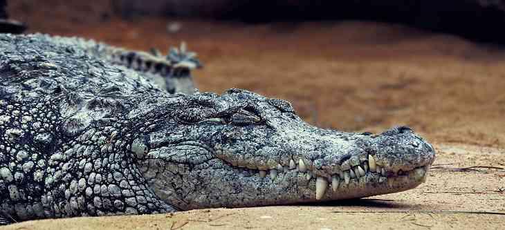 Домашние крокодилы съели двухлетнюю дочь своего хозяина
