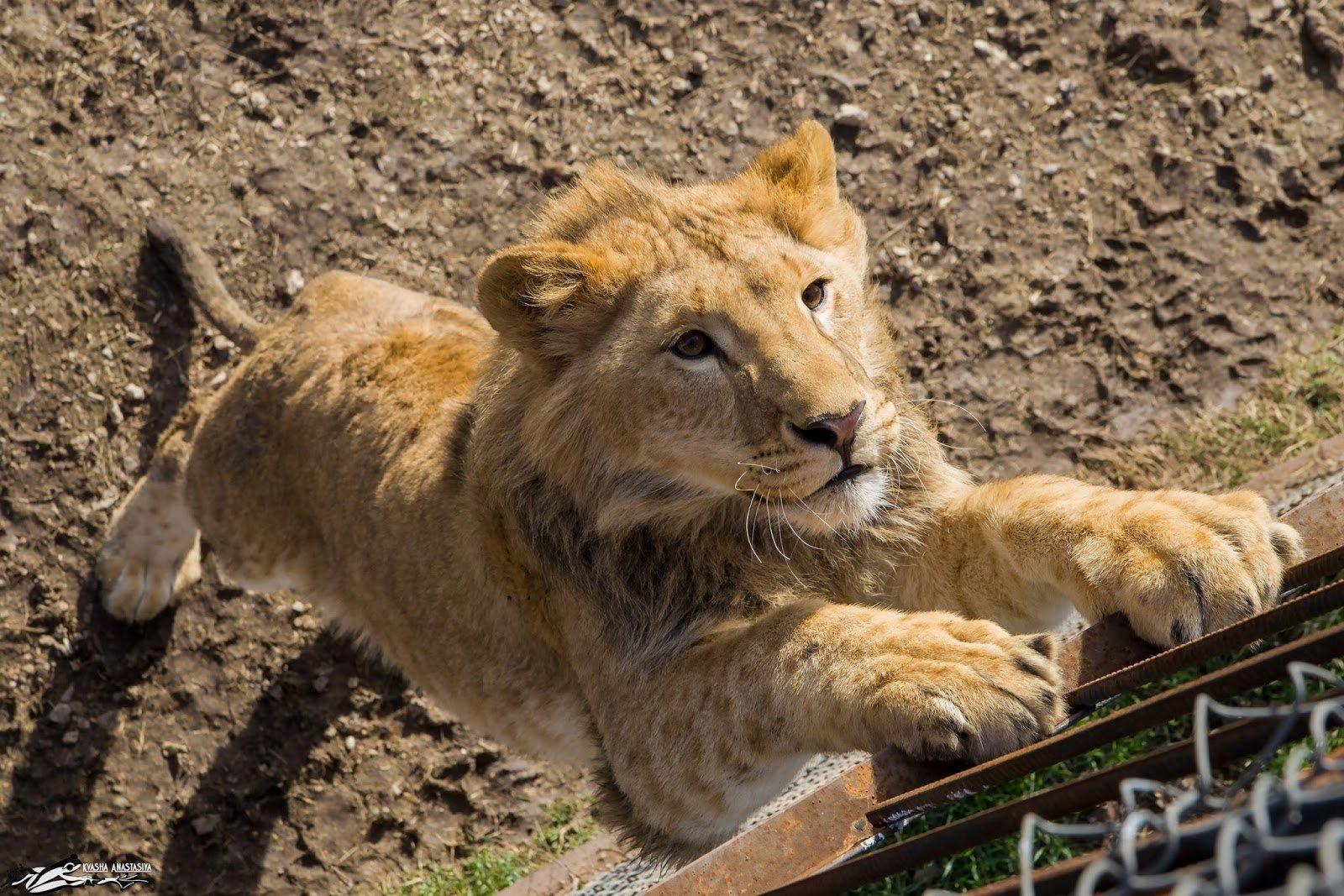В Пномпене лев сбежал от хозяина и разгуливал по улицам города