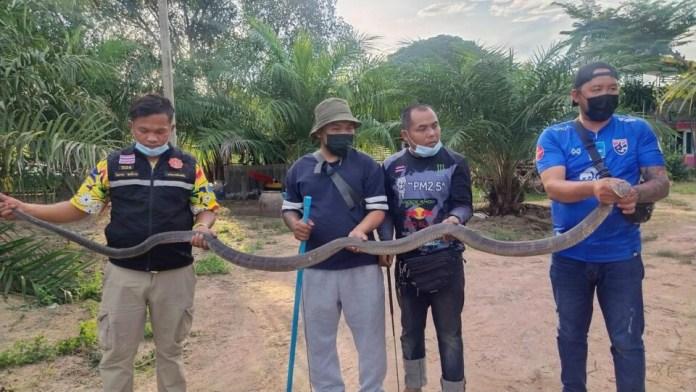 Королевская кобра поймана местными жителями в Бан Буэне