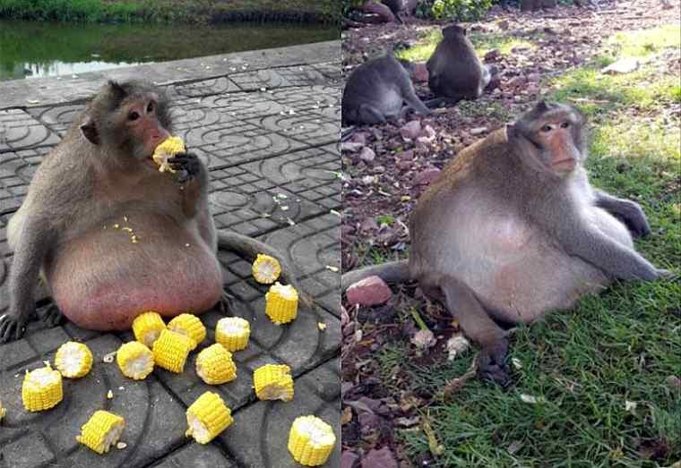 В Таиланде туристы довели макаку до ожирения