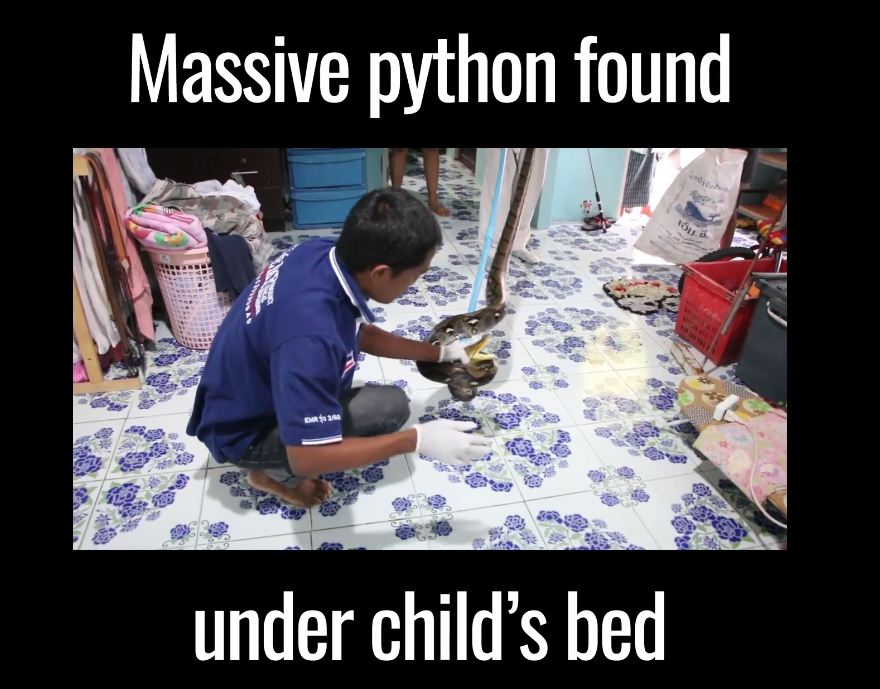 Massive python found under child's bed