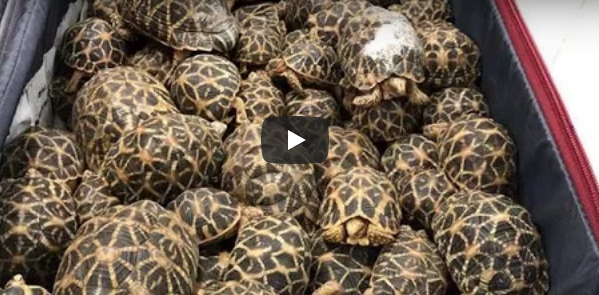 Boy does good! 'Open season' on Maya Bay? Airport tortoises! || December 1
