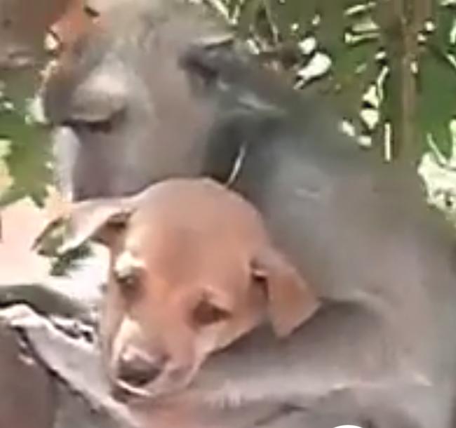 Домашние питомцы обезьян