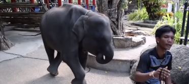Baby elephant abused? Cop blacklisted, pending probe! Sacred water! || Phuket