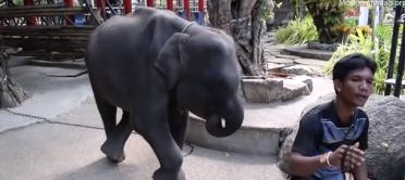 Baby elephant abused? Cop blacklisted, pending probe! Sacred water! || Phuket