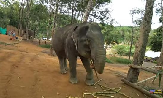 Слоны в Таиланде. Купание со слонами Пхукет
