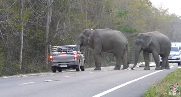 Видео: в Таиланде слоны остановили машину и распотрошили багаж