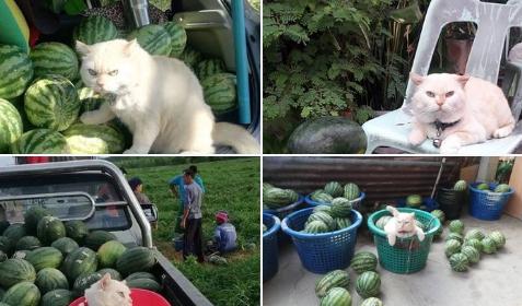 Арбузная Жемчужина: в Таиланде живет суровый кот – охранник бахчевых