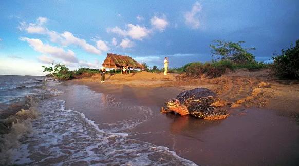 На пляже Таиланда нашли необычное гнездо кожистой черепахи