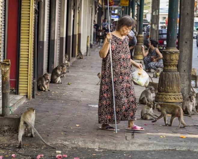 В Таиланде дикие обезьяны оголодали из-за отсутствия туристов, которые их обычно подкармливают. Животные сбиваются в огромные стаи и устраивают побоища даже за маленький кусочек еды.  О настоящем нашествии обезьян рассказали жители города Лопбури