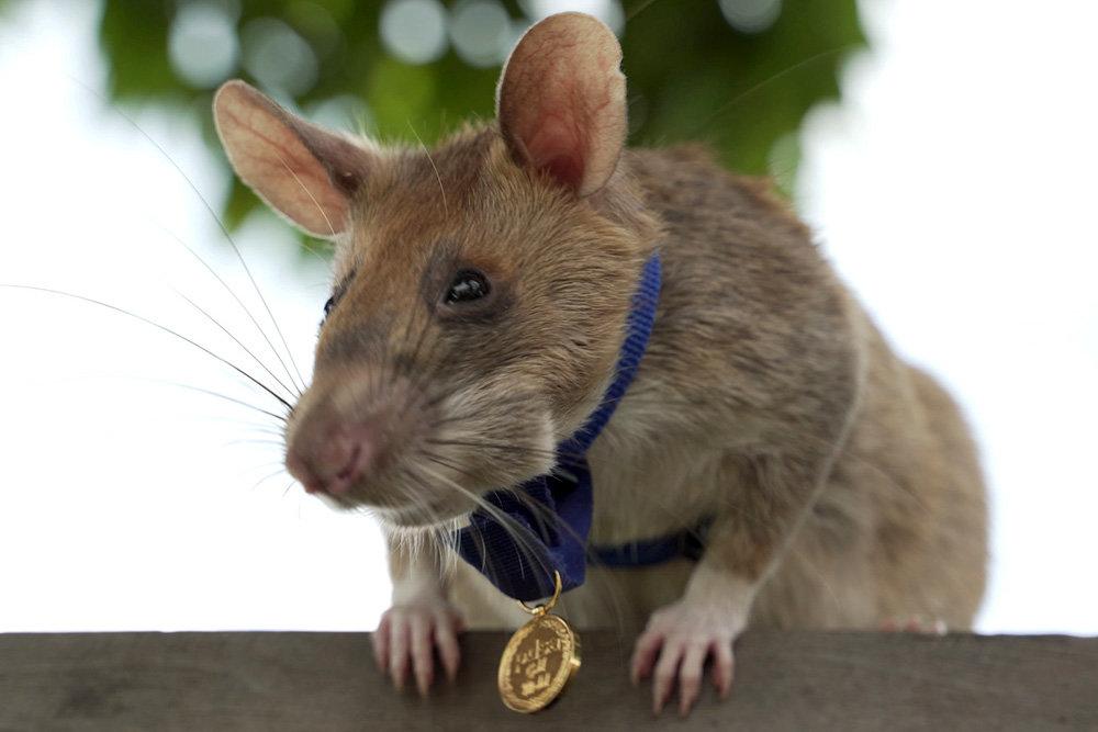Гигантская крыса награждена медалью за обнаружение мин в Камбодже