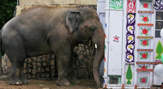 """СМИ: """"самый одинокий в мире слон"""" прибыл в Камбоджу для поисков пары"""