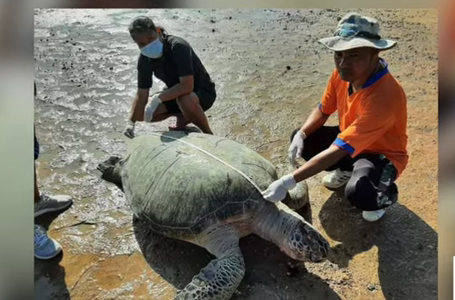 'Supermum' turtle spotted! Free vaccine for all in Thailand? || Thailand News