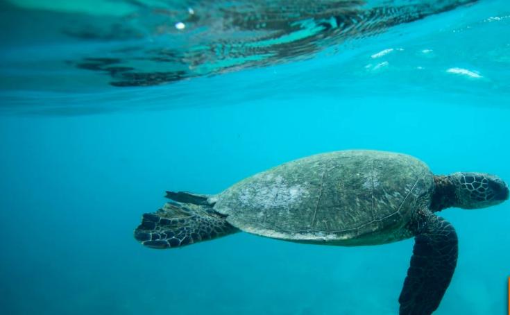 Камбоджа является домом для нескольких популяций черепах, находящихся под угрозой исчезновения