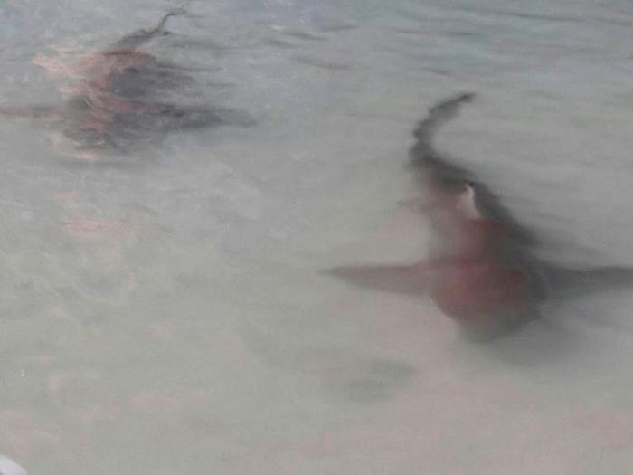Стая акул Blacktip замечена у пляжа Краби