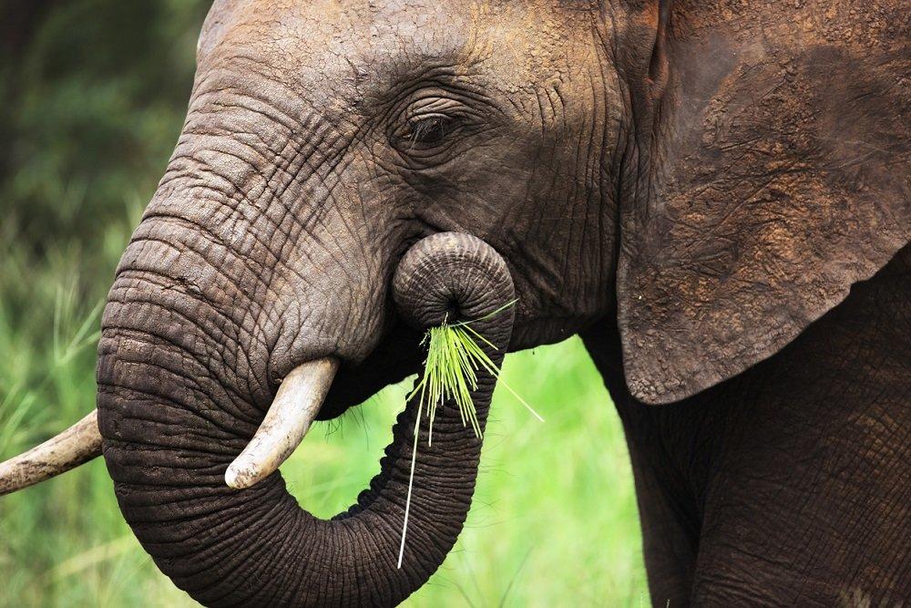 В Таиланде из-за коронавируса недоедают слоны
