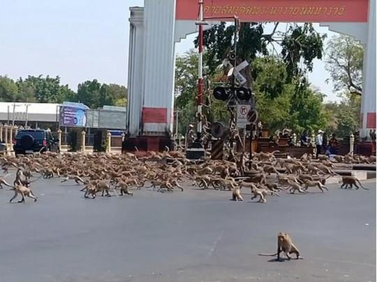 В Таиланде сотни обезьян, оставшись без кормильцев-туристов из-за эпидемии, дерутся за еду (видео)