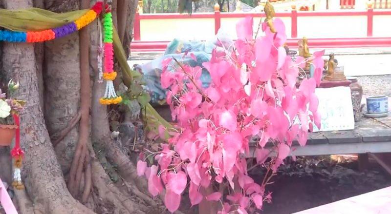 Удивительное явление: Розовые листья на дереве Бодхи