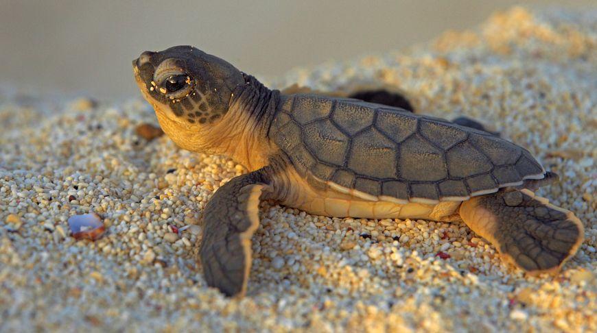 20 тысяч батов за черепаху: национальные парки Таиланда будут платить добровольцам за помощь