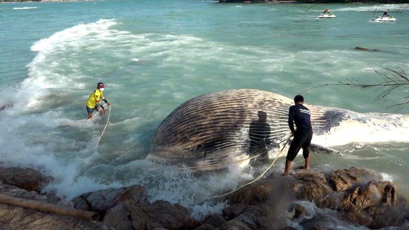 На пляж острова Самуй в Таиланде выбросило тушу кита