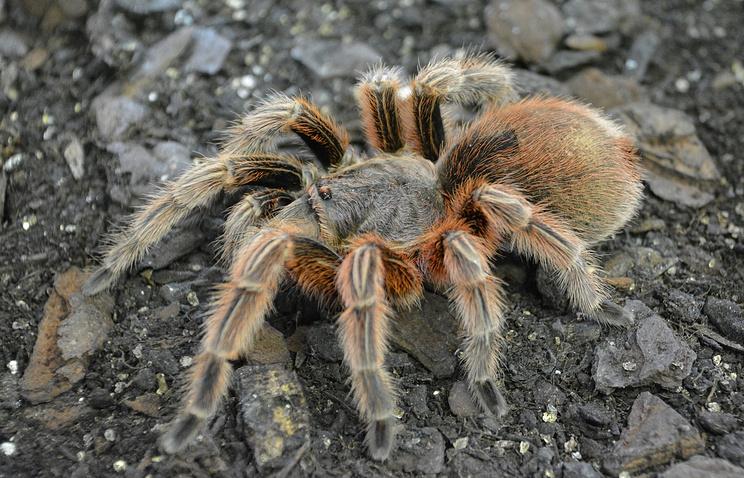 Камбоджийцы опасаются, что придется исключить из меню тарантулов