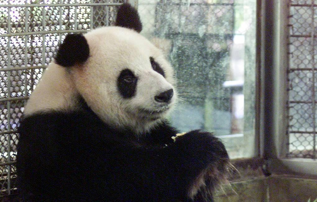 СМИ: в Таиланде умерла панда Чуан Чуан