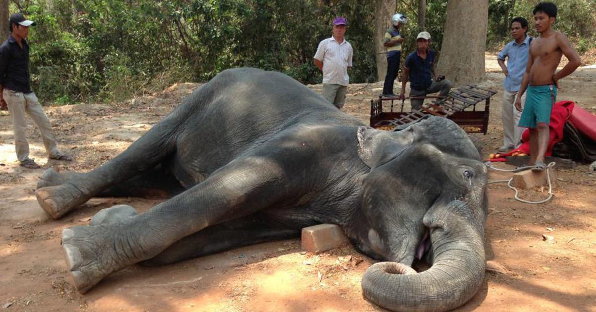 В Камбодже хозяин заморил слона голодом за побег