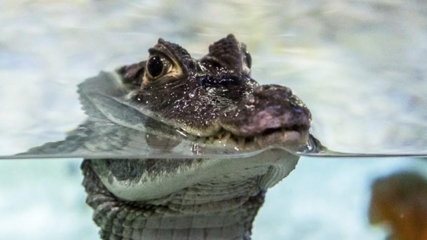 В Камбодже обнаружено гнездо с яйцами редкого сиамского крокодила