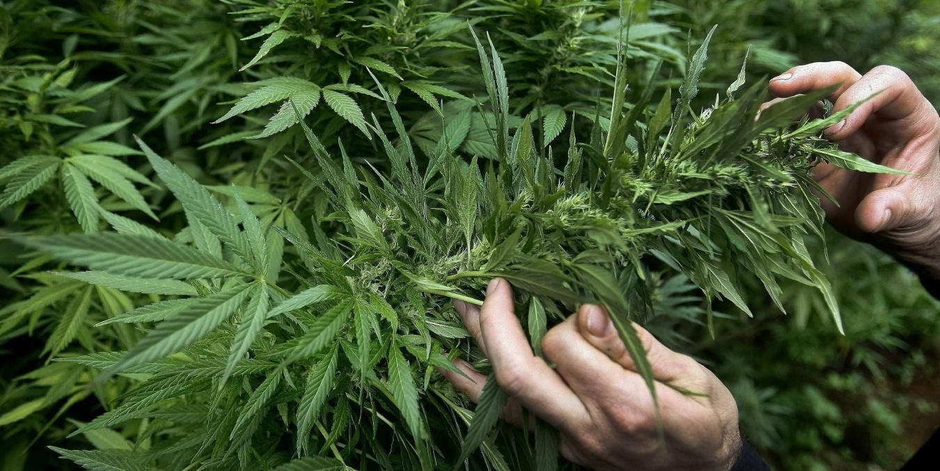 В Таиланде одобрили производство марихуаны