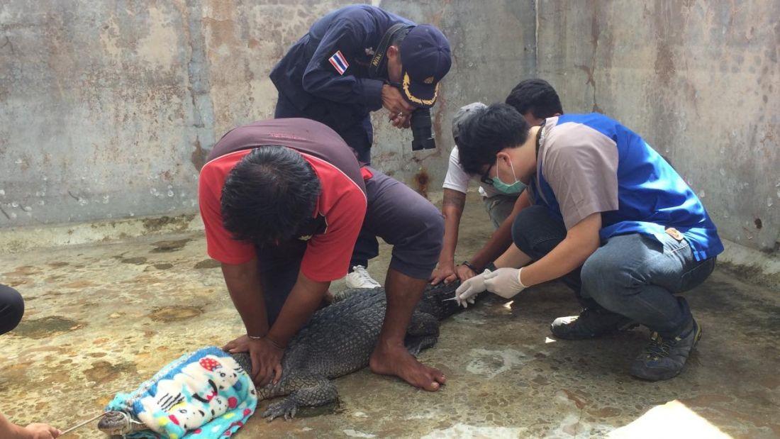 Тесты ДНК показали, что крокодил Пхукета – это морской крокодил