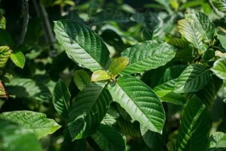 Листья Кратома перестанут быть наркотиками в Таиланде