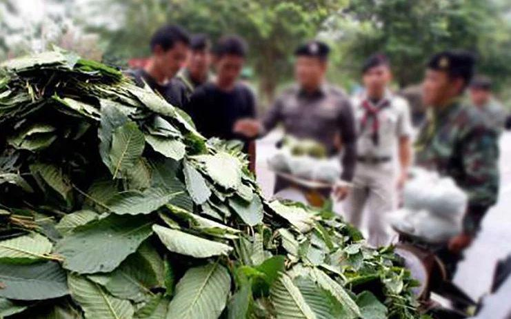 Власти Таиланда намерены легализовать растение кратом в определенных районах страны