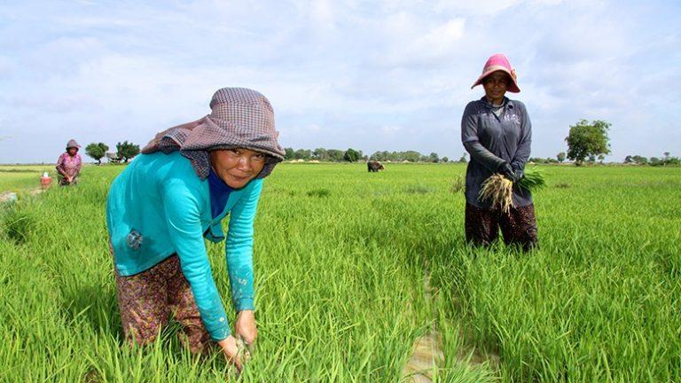 Евросоюз ввел пошлину на рис из Камбоджи и Мьянмы