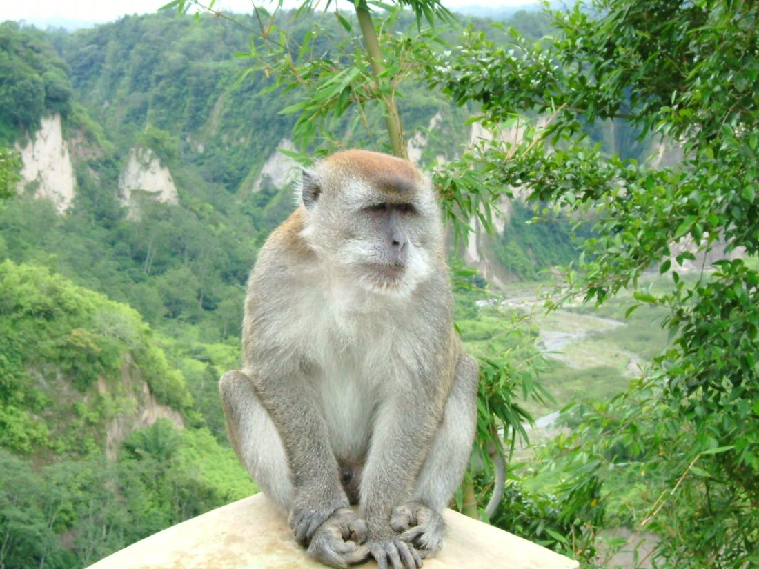 В Хуахине стерилизуют 600 обезьян