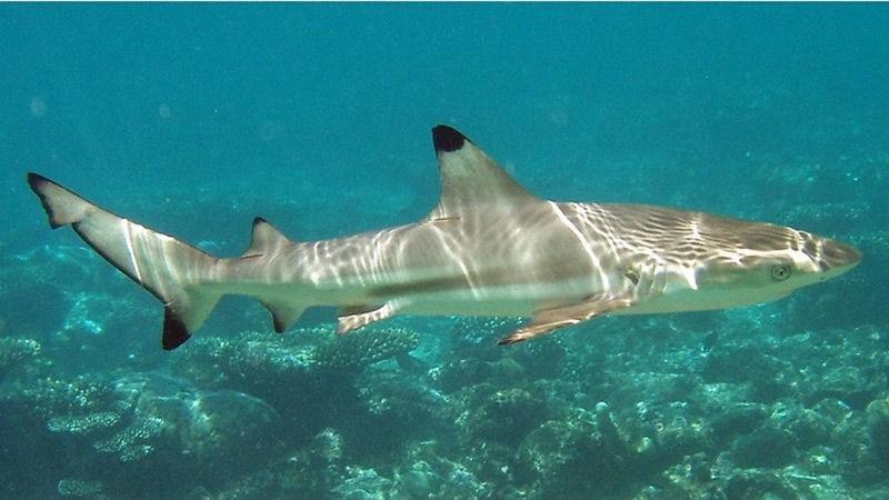 Биолог призывает Таиланд внести акул в список исчезающих видов